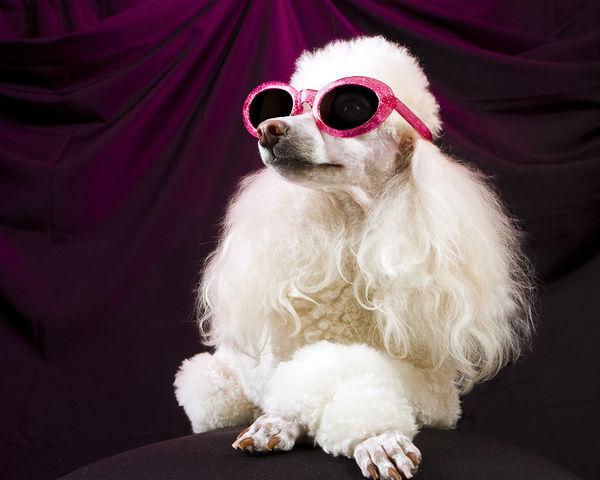 平毛寻回犬贵还是金毛贵 平毛寻回犬比较贵点