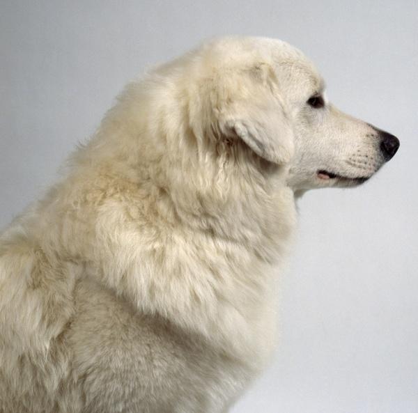 狗狗切除狼趾外科手术说明