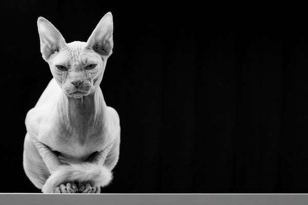 金吉拉猫的饲养小常识